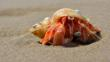Hermit crab on sand (c) Nick Davies