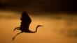 Silhouette of a great egret in flight