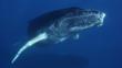 Curious humpback whale calf