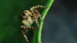 A jumping spider on a leaf