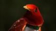 King bird of paradise portrait