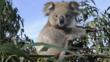 A young koala sitting in a tree
