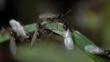 Swarming black ants on a leaf
