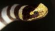 Close-up of a banded sea krait