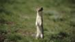 Weasel standing up on hind legs