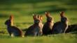 A small group of rabbits standing by field burrow
