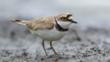 Little ringed plover walking in shallow water