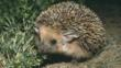 Close-up of a long-eared desert hedgehog