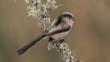 Long tailed tit on lichen-covered branch