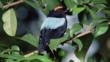 Blue backed manakin amongst forest foliage