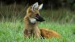 An alert looking maned wolf sitting on grasslands