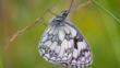 Marbled white butterfly on grass (c) Jo Maunder
