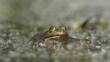 Marsh frog submerged in water