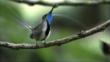Marvellous Spatuletail perched on a branch