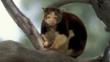 Matschie&#039;s tree-kangaroo in the branches of a tree