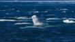 A group of beluga whales at arctic sea surface