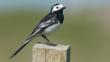 Pied wagtail perched on fence post