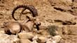 A Nubian ibex in the Judian Desert, Israel
