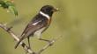 African Stonechat with food in its beak