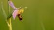 Close-up of a bee orchid flower