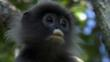 Phayre&#039;s leaf monkey portrait