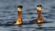Adult red-necked grebes in breeding plumage performing 'whinny-braying' duet in defense of territory.