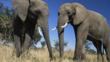 A pair of African elephants