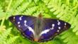 Purple emperor on green fern leaves (c) Iain Leach