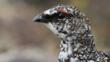 Portrait of a ptarmigan (c) Sandra Standbridge