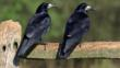 Two rooks perched on fence post