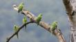 Five rose-ringed parakeets perched on a tree branch