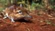 A rufous elephant shrew in Kenya