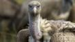 Ruppell&#039;s griffon vulture