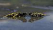 Two European salamanders partially submerged in water