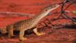 A sand goanna in the desert