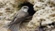 Sand martin at nest entrance