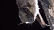 Serotine bat resting on a tree trunk
