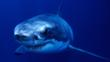 Great white shark in waters off Australia