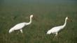 Two great white cranes walking on grassland