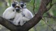 Verreaux&#039;s sifakas huddled in the fork of a tree branch