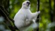Silky sifaka lemur hanging to a tree branch in Marojejy National Park, Sambava, Madagascar
