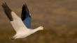 A snow goose in flight