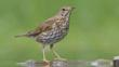 Song thrush at water