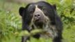 Female spectacled bear amongst vegetation