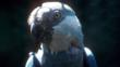 Portrait of a Spix&#039;s macaw