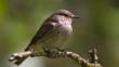 Spotted flycatcher perched on branch (c) Ian White