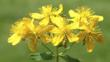 Bright yellow flower head of a St John&#039;s wort