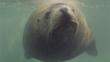 Head-on Steller sea lion underwater