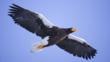 Steller&#039;s sea eagle in flight