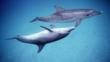 A pair of Atlantic spotted dolphins in the Bahamas